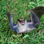 Why is this bat laughing?